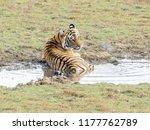 wild bengal tiger  panthera... | Shutterstock . vector #1177762789