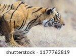 wild bengal tiger  panthera... | Shutterstock . vector #1177762819