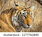wild bengal tiger  panthera... | Shutterstock . vector #1177762840