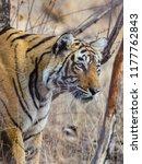wild bengal tiger  panthera... | Shutterstock . vector #1177762843