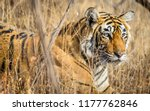 wild bengal tiger  panthera... | Shutterstock . vector #1177762846