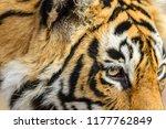 wild bengal tiger  panthera... | Shutterstock . vector #1177762849