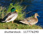 Duck Couple On River Coast