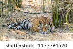 wild bengal tiger  panthera... | Shutterstock . vector #1177764520