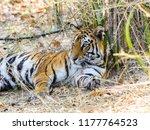 wild bengal tiger  panthera... | Shutterstock . vector #1177764523