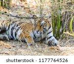 wild bengal tiger  panthera... | Shutterstock . vector #1177764526