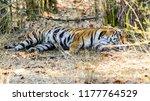 wild bengal tiger  panthera... | Shutterstock . vector #1177764529