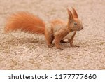 brown squirrel on road in park | Shutterstock . vector #1177777660