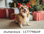 welsh corgi dog in deer horns... | Shutterstock . vector #1177798639