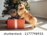 Stock photo funny welsh corgi dog and scottish fold cat on gift box near christmas tree 1177798933