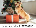 Stock photo cute welsh corgi dog and scottish fold cat on gift box near christmas tree 1177798936
