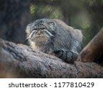 pallas's cat  otocolobus manul .... | Shutterstock . vector #1177810429