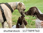german shorthaired pointer ... | Shutterstock . vector #1177899763