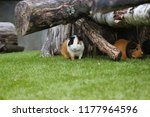 Group Of Domestic Guinea Pigs...