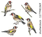hand drawn goldfinches isolated ... | Shutterstock .eps vector #1177981369