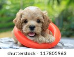 Stock photo poodle puppy 117805963