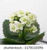 kalanchoe blossfeldiana plant... | Shutterstock . vector #1178110396