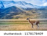 guanaco at patagonia. | Shutterstock . vector #1178178409