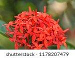 beautiful spike flower blooming ... | Shutterstock . vector #1178207479