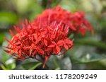 beautiful spike flower blooming ... | Shutterstock . vector #1178209249