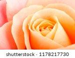 rose flower macro studio shot | Shutterstock . vector #1178217730