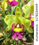orchid flowers growing outside... | Shutterstock . vector #1178234449