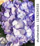 hydrangea flower  close up  | Shutterstock . vector #1178234533