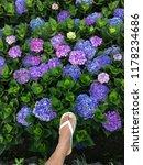 hydrangea flower with foots... | Shutterstock . vector #1178234686