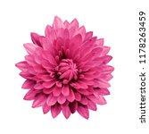 Magenta Flower Dahlia  On A...