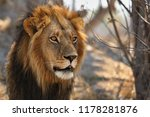 Stock photo big lion male portrait in the warm light wild animal in the nature habitat african wildlife this 1178281876