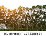 eucalyptus forest at sunset... | Shutterstock . vector #1178285689