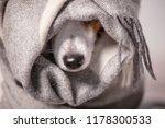 dog under a plaid. pet warms... | Shutterstock . vector #1178300533