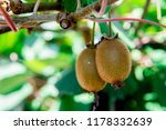 kiwi fruit on the branch. some... | Shutterstock . vector #1178332639