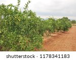 spanish orange grove  valencia | Shutterstock . vector #1178341183