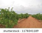spanish orange grove  valencia | Shutterstock . vector #1178341189