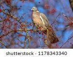 wood pigeon  columba palumbus ...   Shutterstock . vector #1178343340