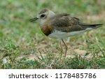 oriental plover  charadrius... | Shutterstock . vector #1178485786