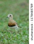 oriental plover  charadrius... | Shutterstock . vector #1178485789