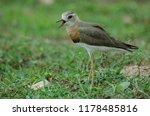 oriental plover  charadrius... | Shutterstock . vector #1178485816