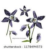 set of aquilegia vulgaris... | Shutterstock .eps vector #1178494573