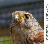 kestrel falco tinnunculus | Shutterstock . vector #1178498743