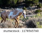 wild  feral  mustang in the... | Shutterstock . vector #1178565760