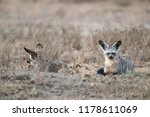2 bat eared foxes lying on the... | Shutterstock . vector #1178611069