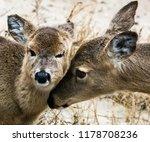 two deer on a beach nuzzling... | Shutterstock . vector #1178708236