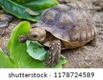 Stock photo close up baby african spurred tortoise resting in the garden slow life africa spurred tortoise 1178724589