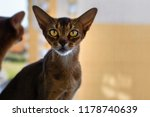 abyssinian red cat close up | Shutterstock . vector #1178740639