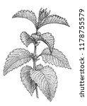 nettle illustration  drawing ... | Shutterstock .eps vector #1178755579