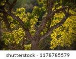 oak tree in the morton forest. | Shutterstock . vector #1178785579