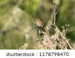 nightingale  luscinia... | Shutterstock . vector #1178798470