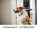 australian shepherd brown | Shutterstock . vector #1178805310